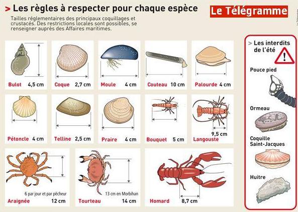 tailles réglementaires des coquillages et crustacés