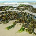 Trévou-Tréguignec les algues sur nos plages// la laisse de mer; infos diverses