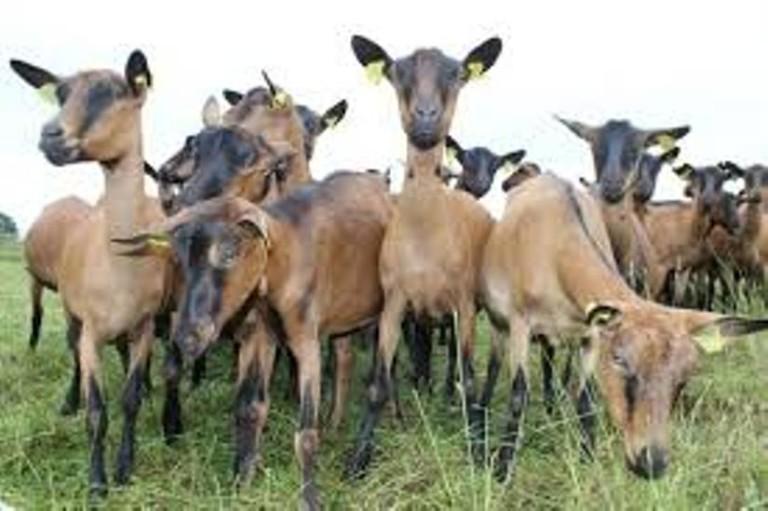 du fromage de chèvre au bourg le dimanche matin