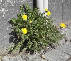 Trévou-Tréguignec  entretien des pieds de murs….    les riverains sont autorisés et même incités  à fleurir ou végétaliser leurs pieds de murs…