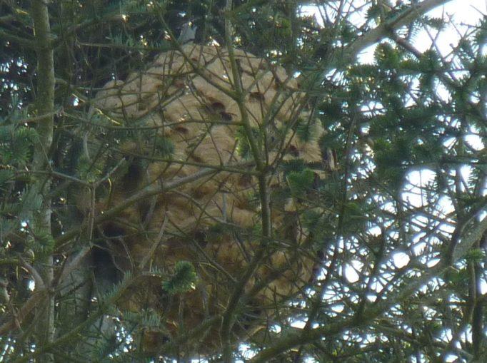 Frelon asiatique Trévou: les arbres perdent leurs feuilles, les nids sont visibles; pensez à prévenir la mairie si vous en découvrez