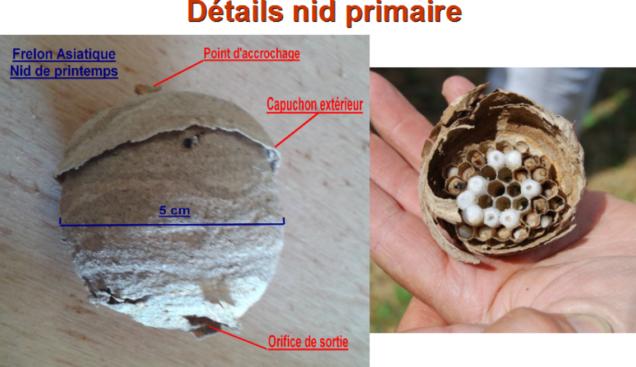 2017-03-frelon-nid-primaire-details