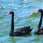Trévou-Tréguignec  un couple de cygnes noirs installé à Poulpry