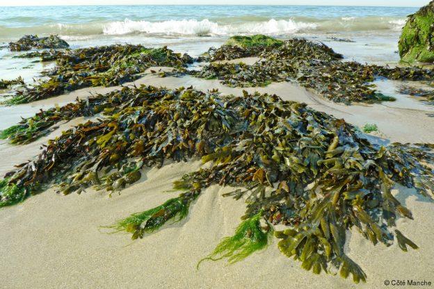 Laisse de mer, algues  …. un site complet proposé par la Région, et des infos diverses consultables sur le site de Trévou-Tréguignec