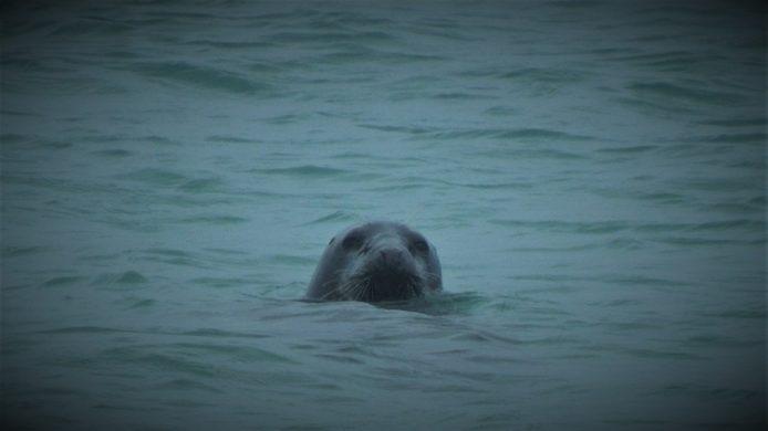 Trévou-Tréguignec  un couple de cygnes noirs  à Poulpry et maintenant la visite d'un phoque au Royau…