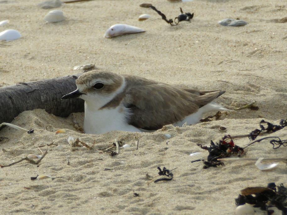 Déconfinement : les oiseaux du littoral en danger. Quelques consignes de la LPO à respecter lors de notre retour sur les plages..