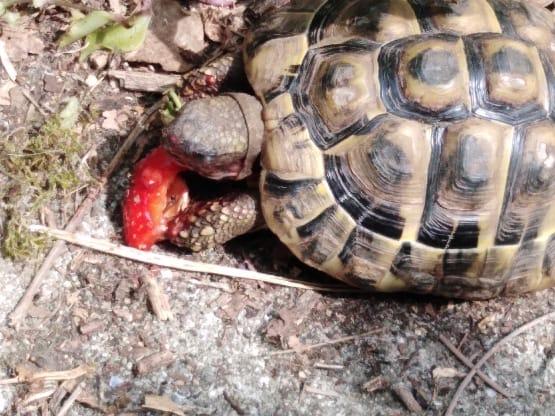 Recherchée : une tortue terrestre…. secteur : le Royau